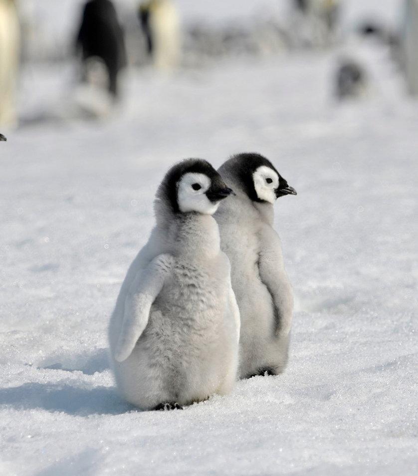 Baby Penguin Desktop Wallpaper - WallpaperSafari