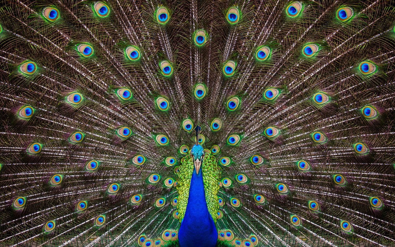 Exotic peacock Wallpapers HD Wallpaper Downloads 1280x800