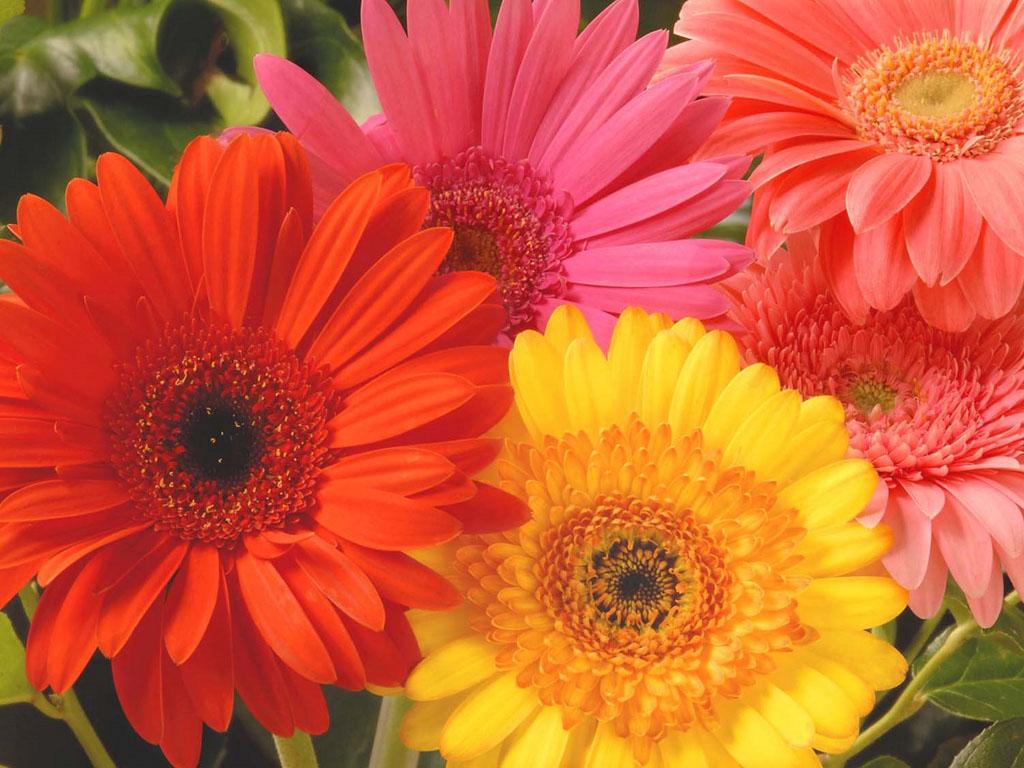 Orange Gerbera Daisy Flowers Wallpapers Desktop Wallpaper 1024x768