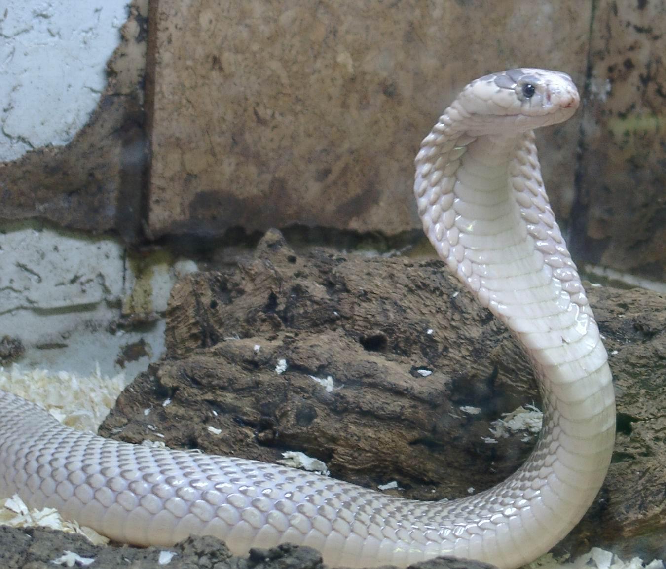 Cobra Snake Hd Wallpapers Cool Desktop Background Pictures Widescreen 1350x1154