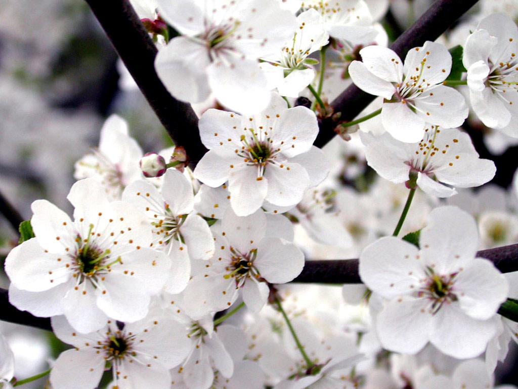 White flower wallpaper for desktop