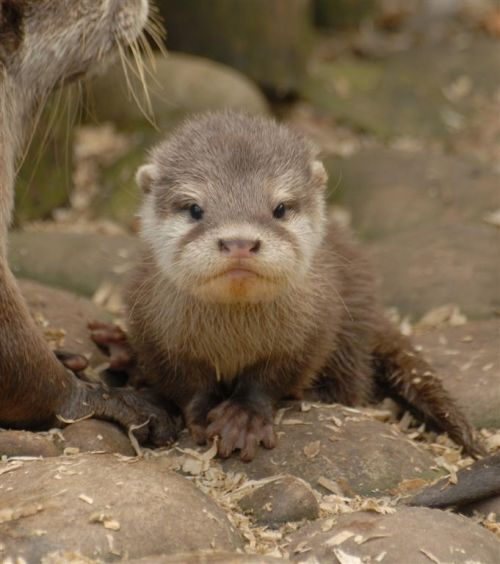 Baby Otters One Of The Cutest Creatures On Land And Sea Baby Animal 500x564