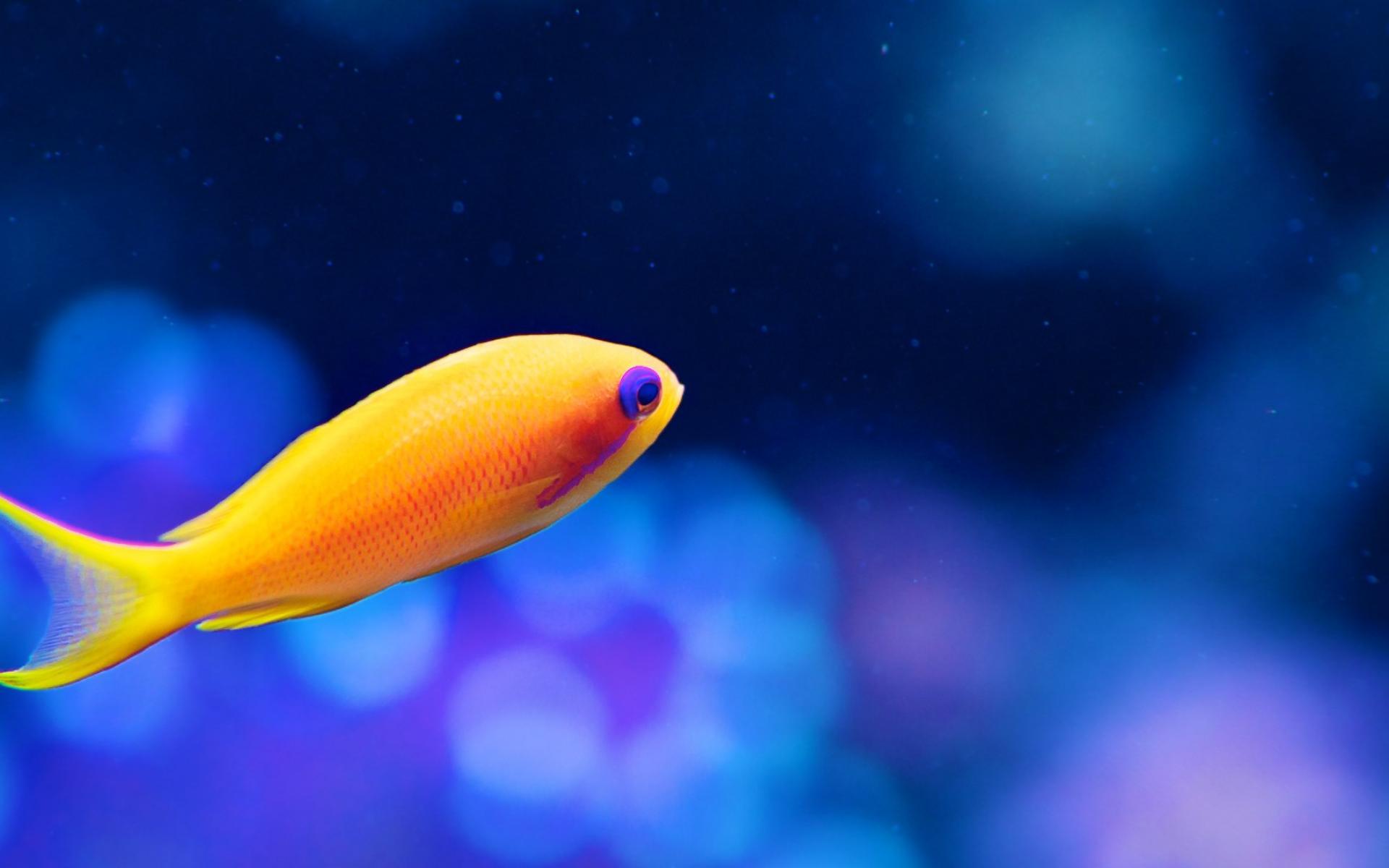 Желтая рыбка  № 1707694 бесплатно