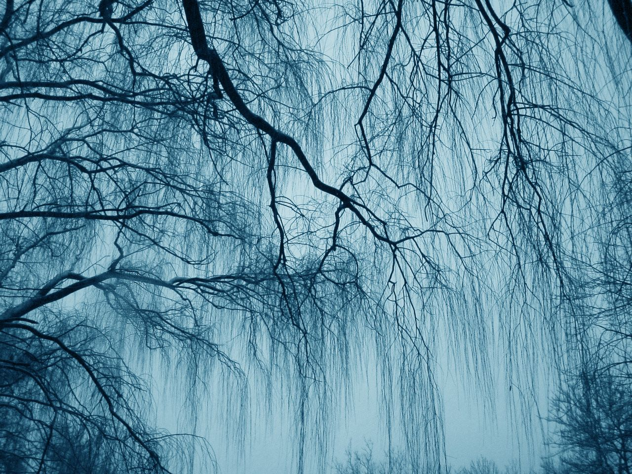 Weeping Willow Wallpapers 1280x960