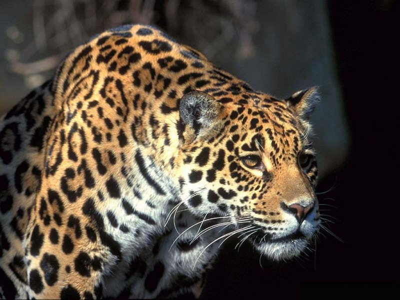 Animals Jaguars Wallpapers Hd Desktop And Mobile: Jaguar Wallpaper Animal