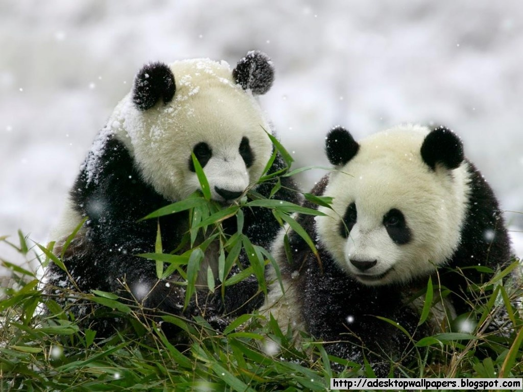 Free Download Funny Giant Panda Wallpapers Pc Wallpapers Wallpaper