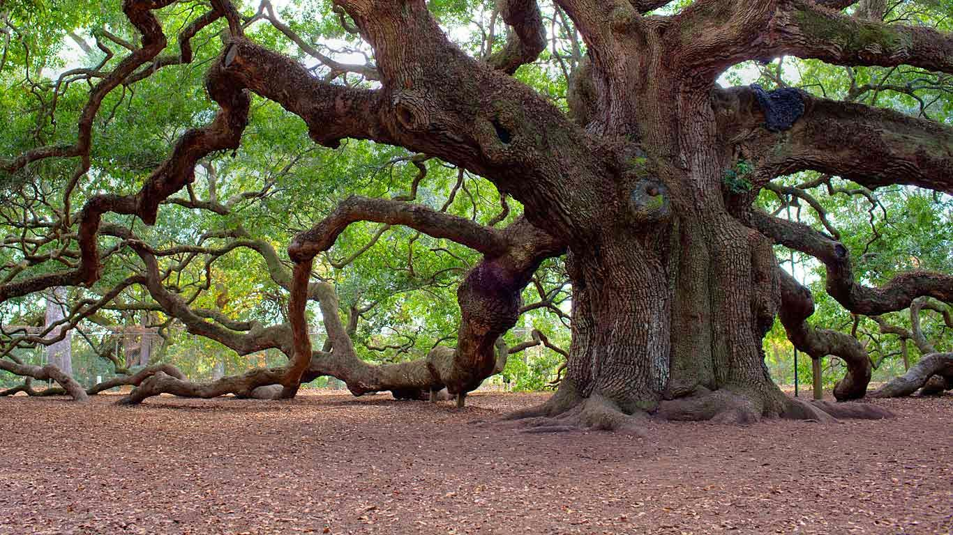 Angel Oak Tree Wallpapers and Background Images   stmednet 1366x768