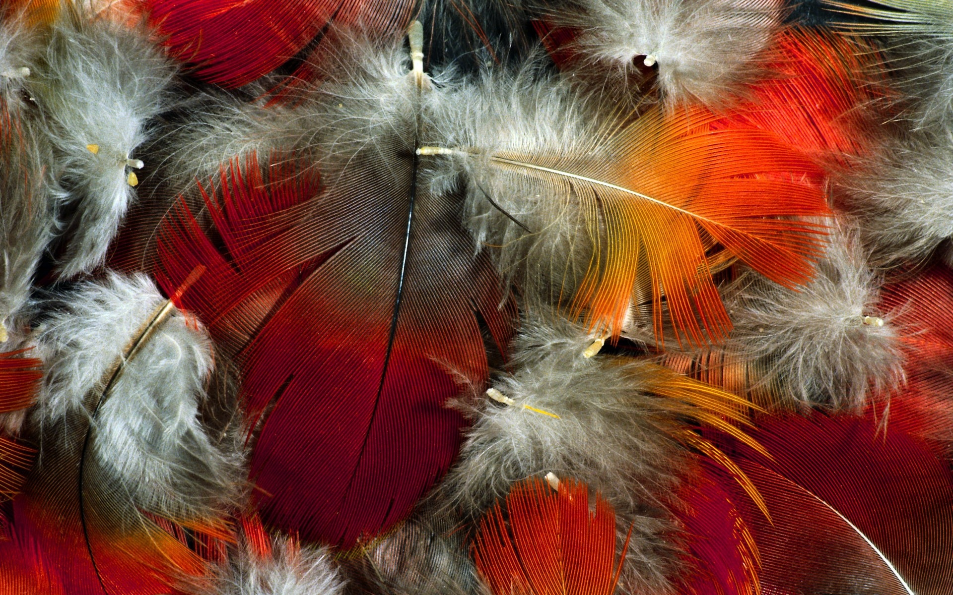 Feathers Red Orange White   Stock Photos Images HD 1920x1200