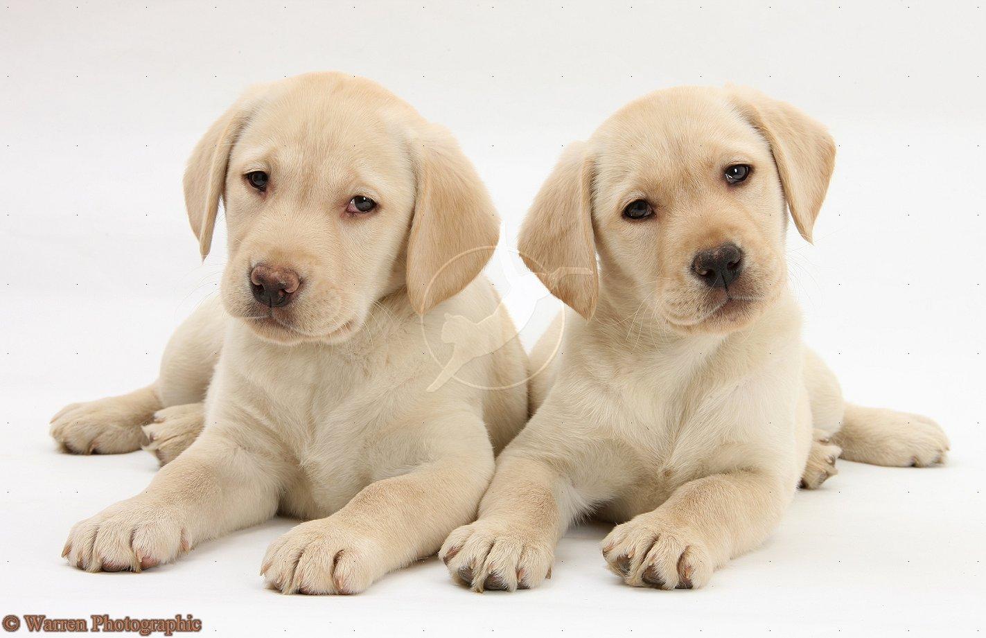 Yellow Labrador Retriever puppies 9 weeks old white background 1423x921