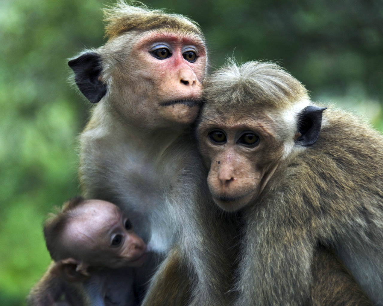 Cute Baby Monkeys 9929 Hd Wallpapers In Animals Imagescicom 1280x1024