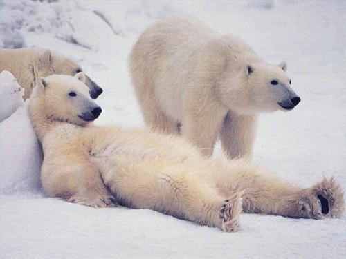 wallpaper and screensavers free polar bears wallpapersafari. Black Bedroom Furniture Sets. Home Design Ideas