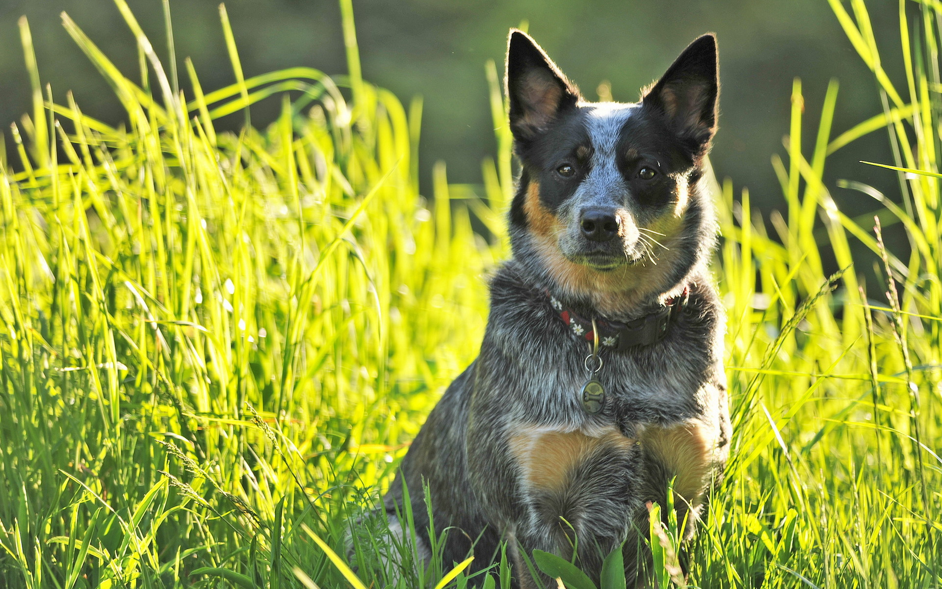 Download wallpapers Blue Heeler green grass Australian Cattle 1920x1200