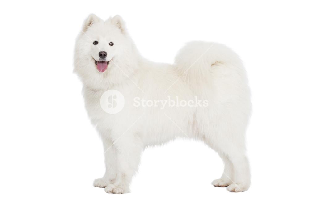 Samoyed dog looking at camera Isolated on white background 1000x667