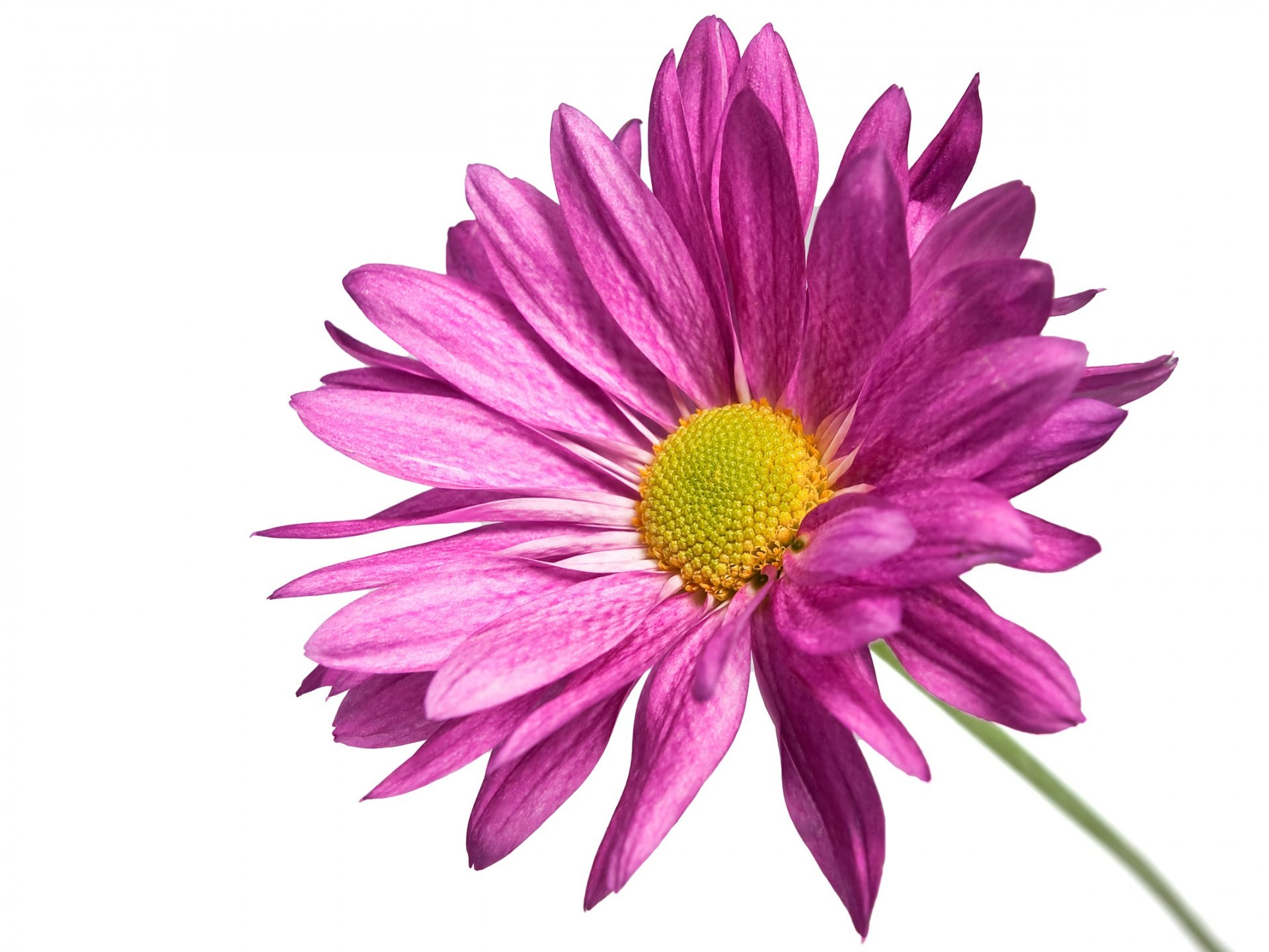 Pink flower white background wallpapersafari flower white background simple white background dhlflorist Image collections