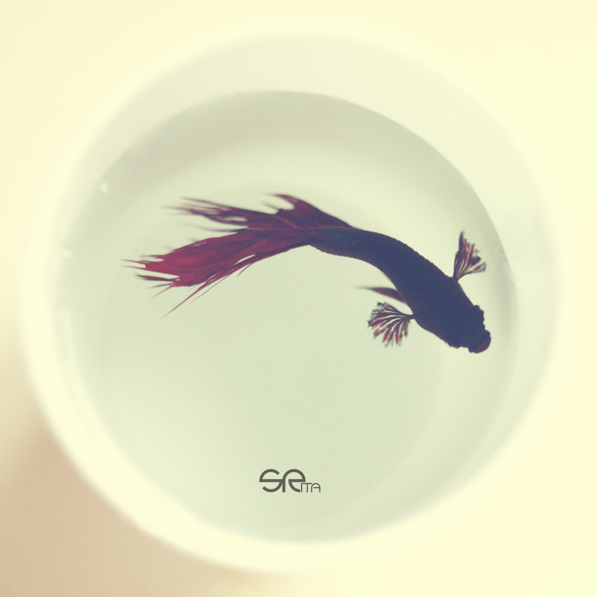 Betta Fish Wallpapers HD Wallpapers 2048x2048