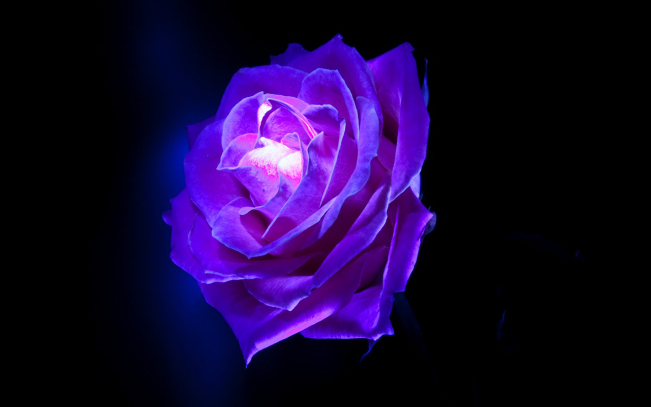 Purple Rose Wallpaper Desktop Flowers 1280x800