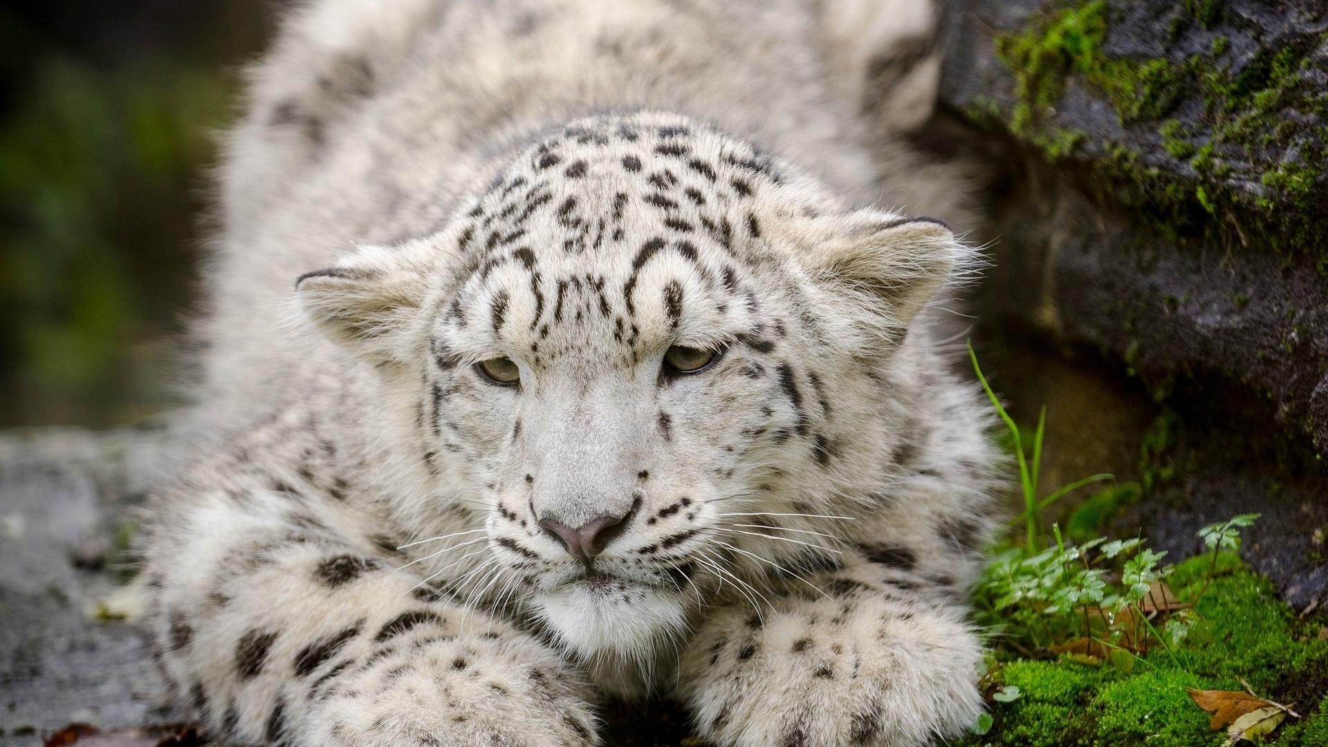 snow leopard kitten cat cub snout wallpapers photos pictures 1680x1050