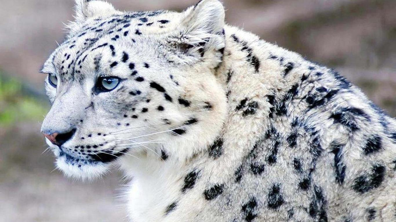 Snow Leopard Mac Wallpaper 1366x768