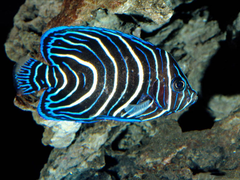 Saltwater fish desktop wallpaper wallpapersafari for Saltwater reef fish