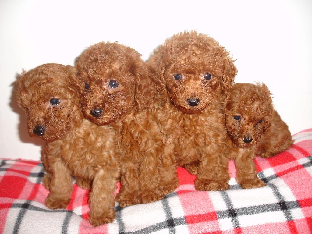 46 free poodle puppy wallpapers on wallpapersafari - Free cocker spaniel screensavers ...