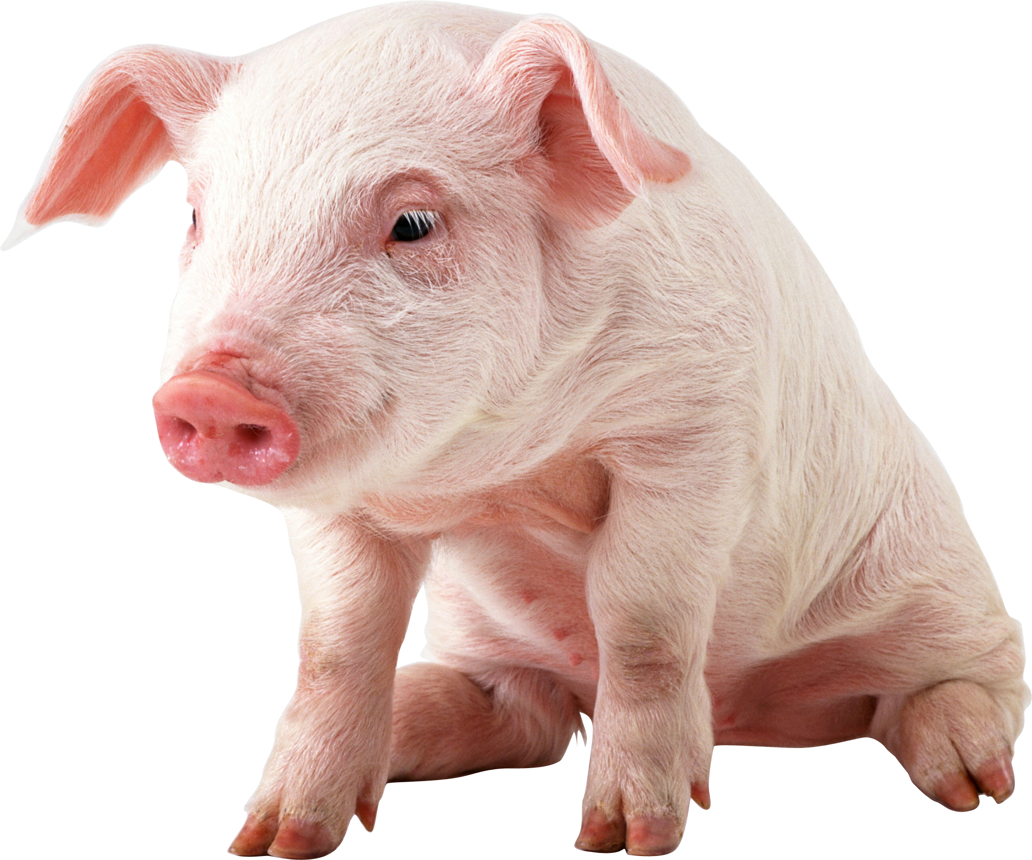 pig black white pig the pig cute animal little pigs baby pigs photo 2054x1713