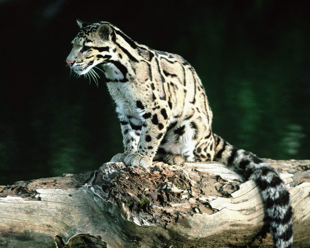 Clouded Leopard Wildlife Photos Info The Wildlife 1280x1024