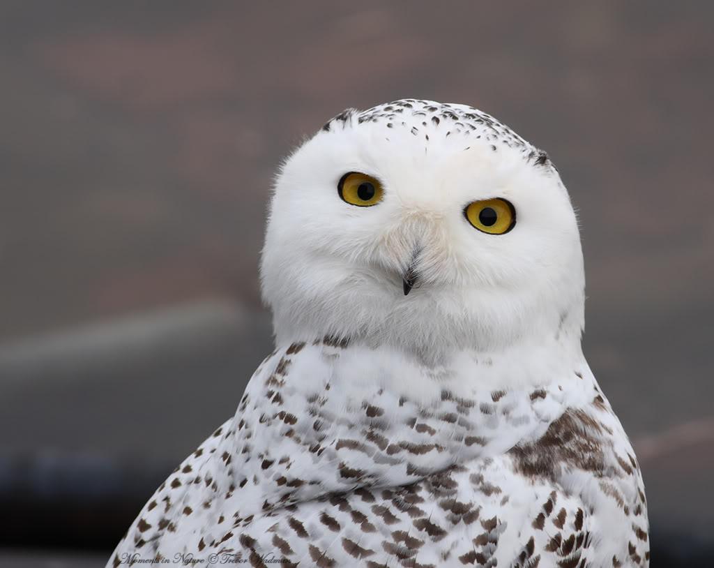 Snowy Owl Wallpaper HD Owls Snow Owl Wallpaper 1024x814