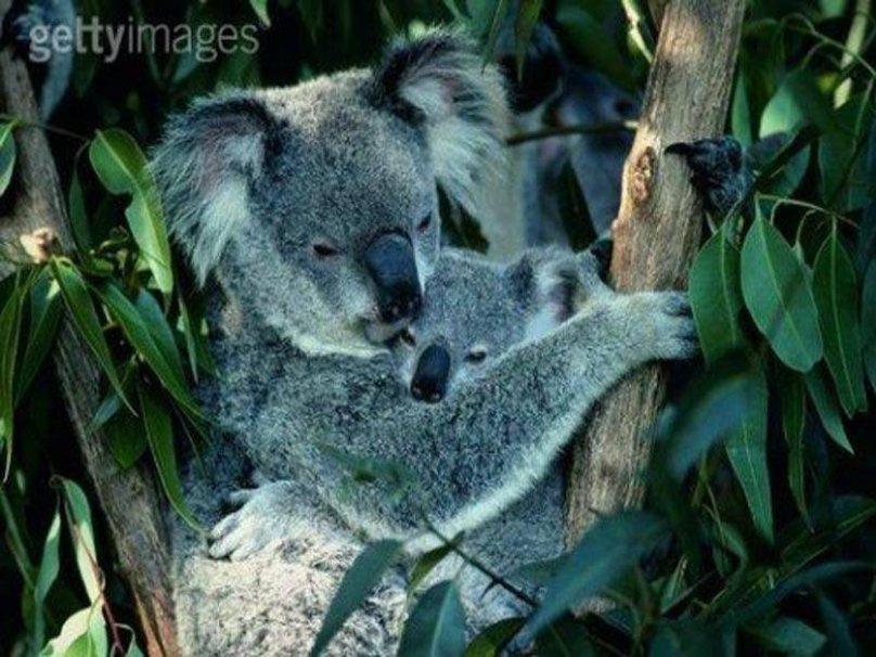 koala en baby wallpaper   ForWallpapercom 808x606