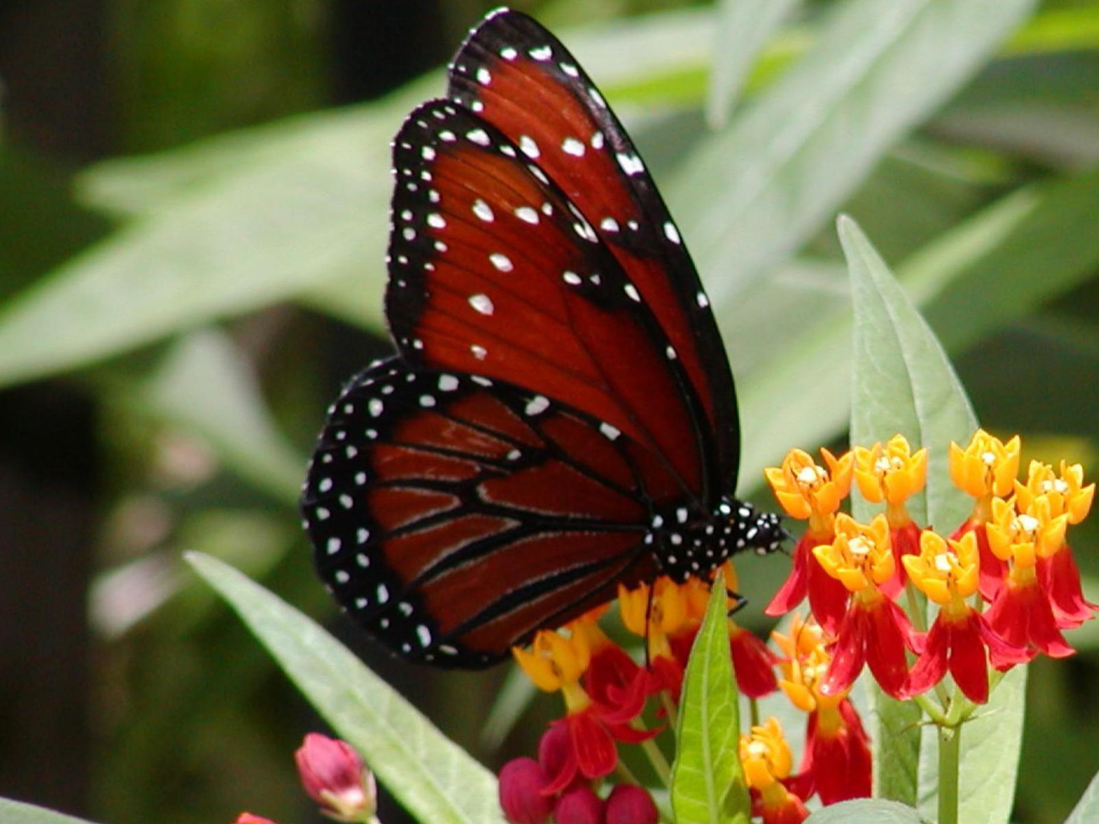 Beautiful Butterflies   Butterflies Wallpaper 9481693 1600x1200