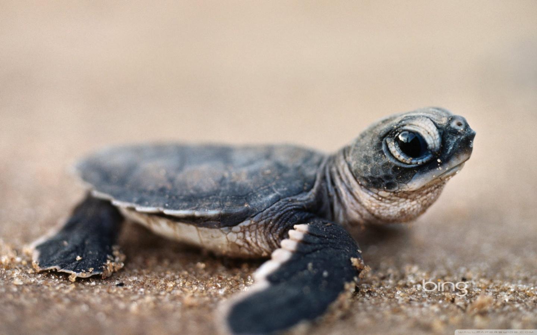 Bing Baby Turtle 4K HD Desktop Wallpaper for 4K Ultra HD TV 1440x900