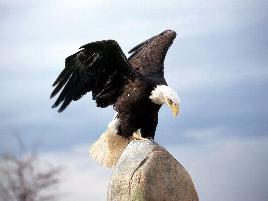 Eagle Wallpapers Bird Eagle Wallpapers Patriotic Bald Eagle 1024x768