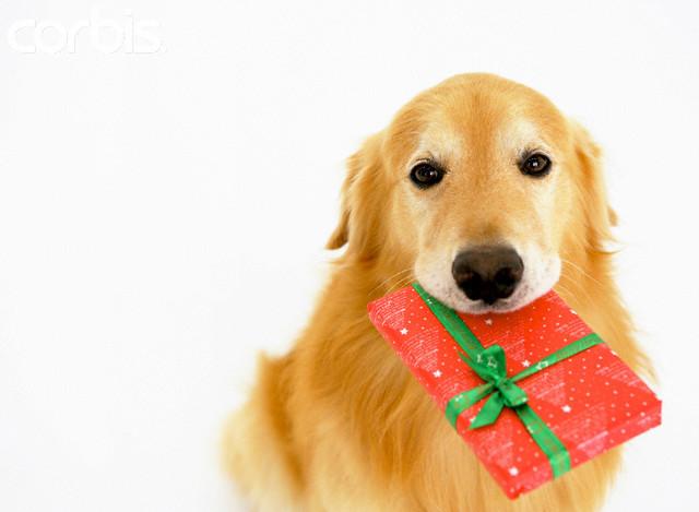 Golden Retriever Puppy Christmas Wallpaper Boxing day golden retriever 640x469