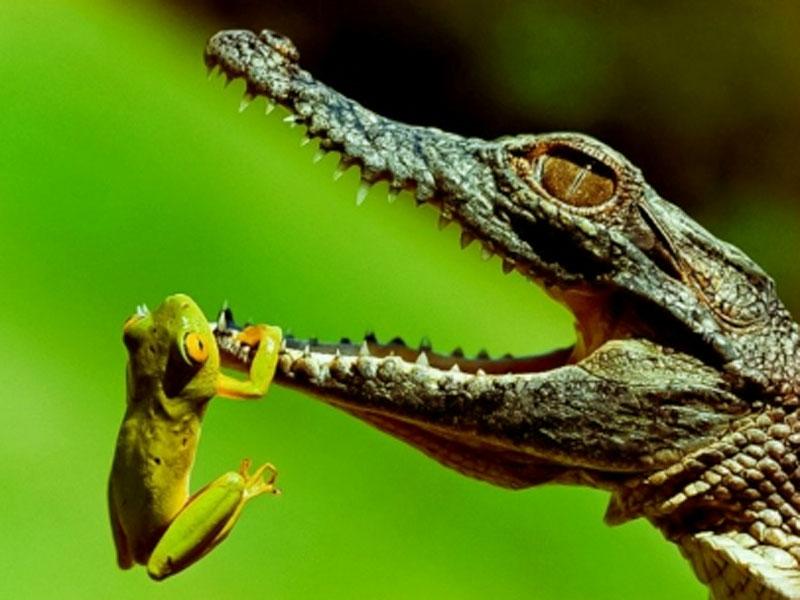 animal display wallpapers: Funny Frog Wallpaper Desktop