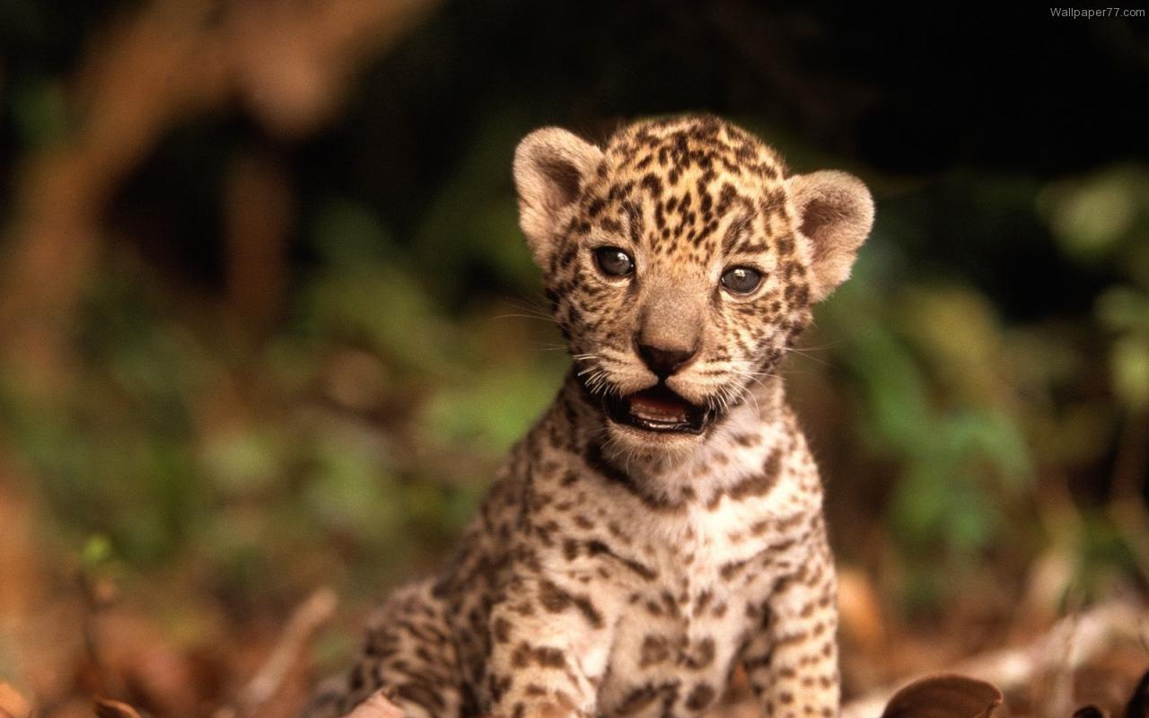 Cute Baby Tiger Wallpaper Wallpapers Magz 1280x800