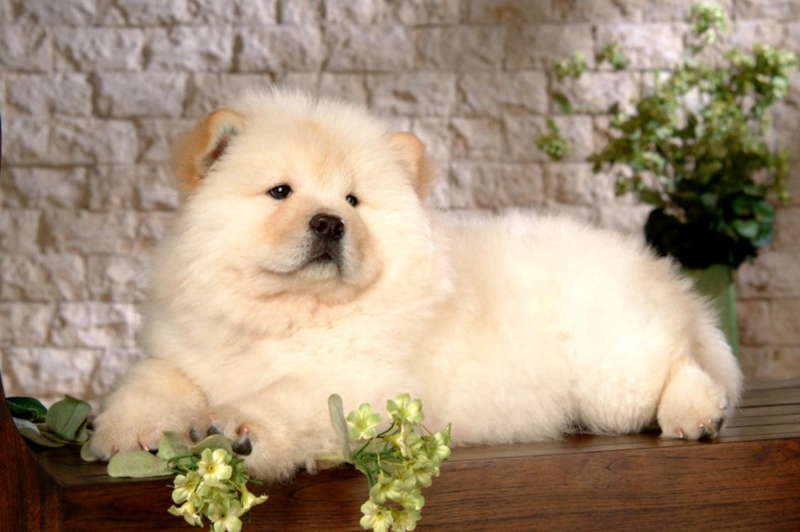 Chow Chow Puppies Black Wallpapers Hd Wallpapers Emoji 1128x750