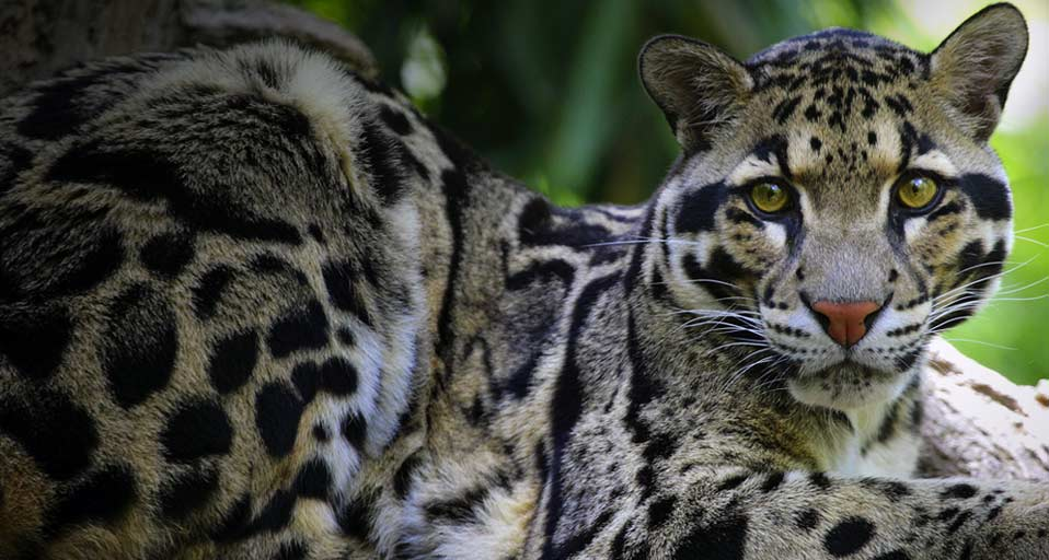 Bing Images   Clouded Leopard   Clouded Leopard lying in a tree 958x512