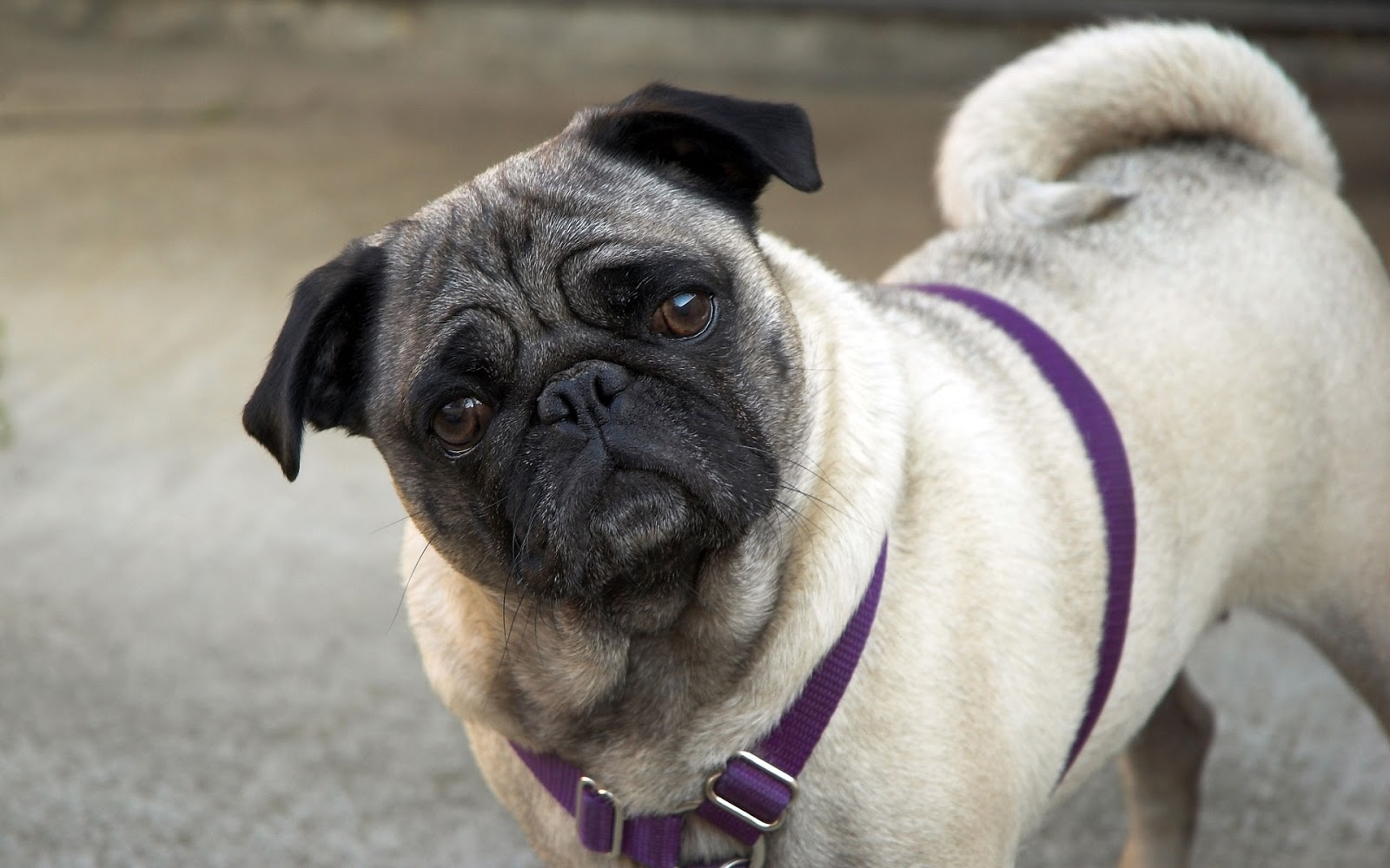 Pug Dog Best HD Wallpapers 2013 All About HD Wallpapers 1600x1000