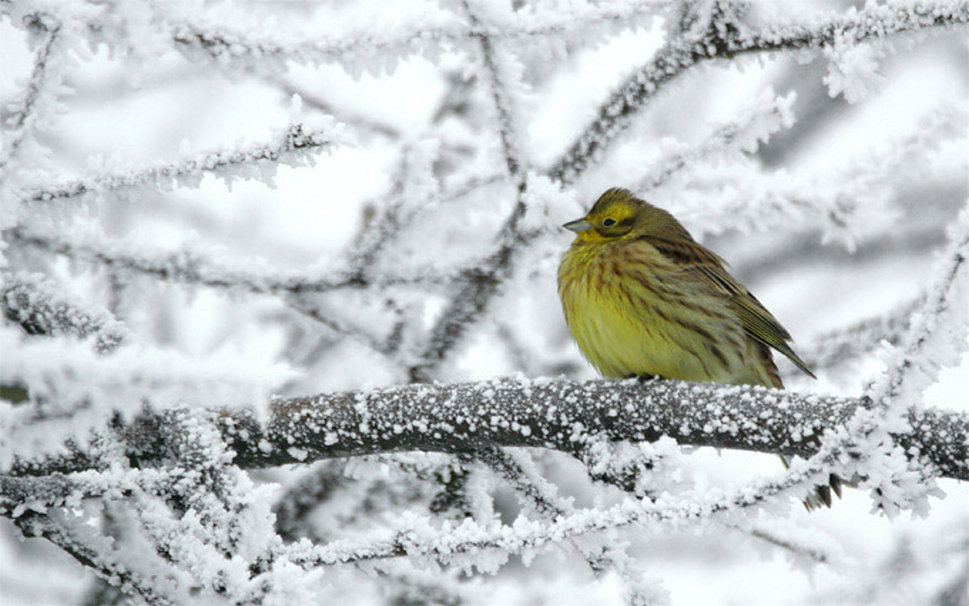 Winter bird wallpaper   ForWallpapercom 969x606