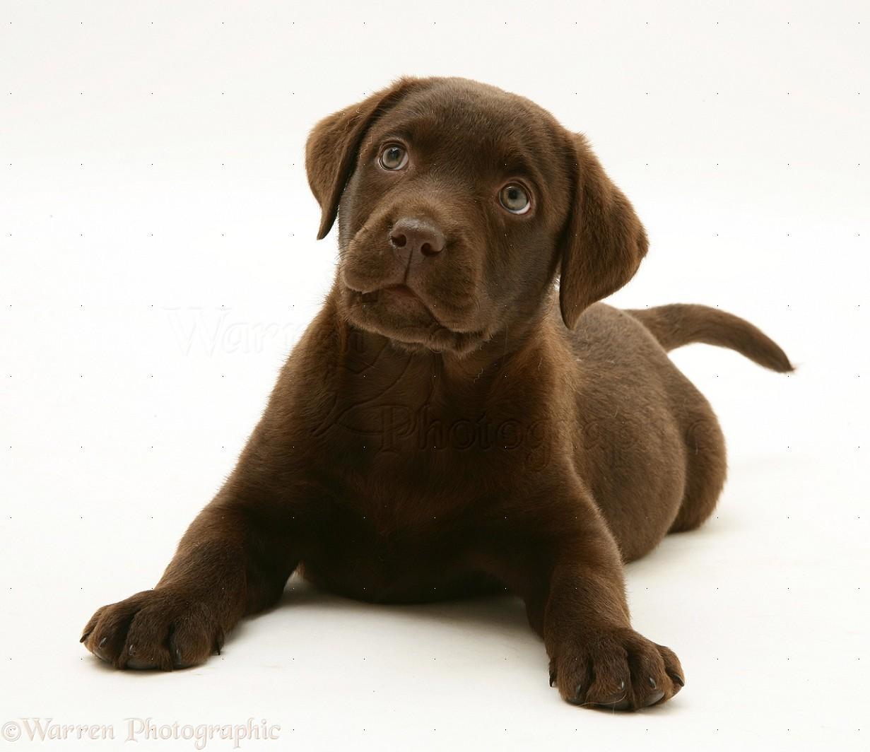 16819 Chocolate Labrador Retriever pup white backgroundjpg 1231x1064