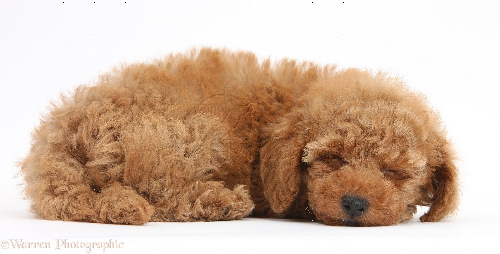 WP39635 Two cute red Toy Poodle puppy 8 weeks old sleeping 1606x816