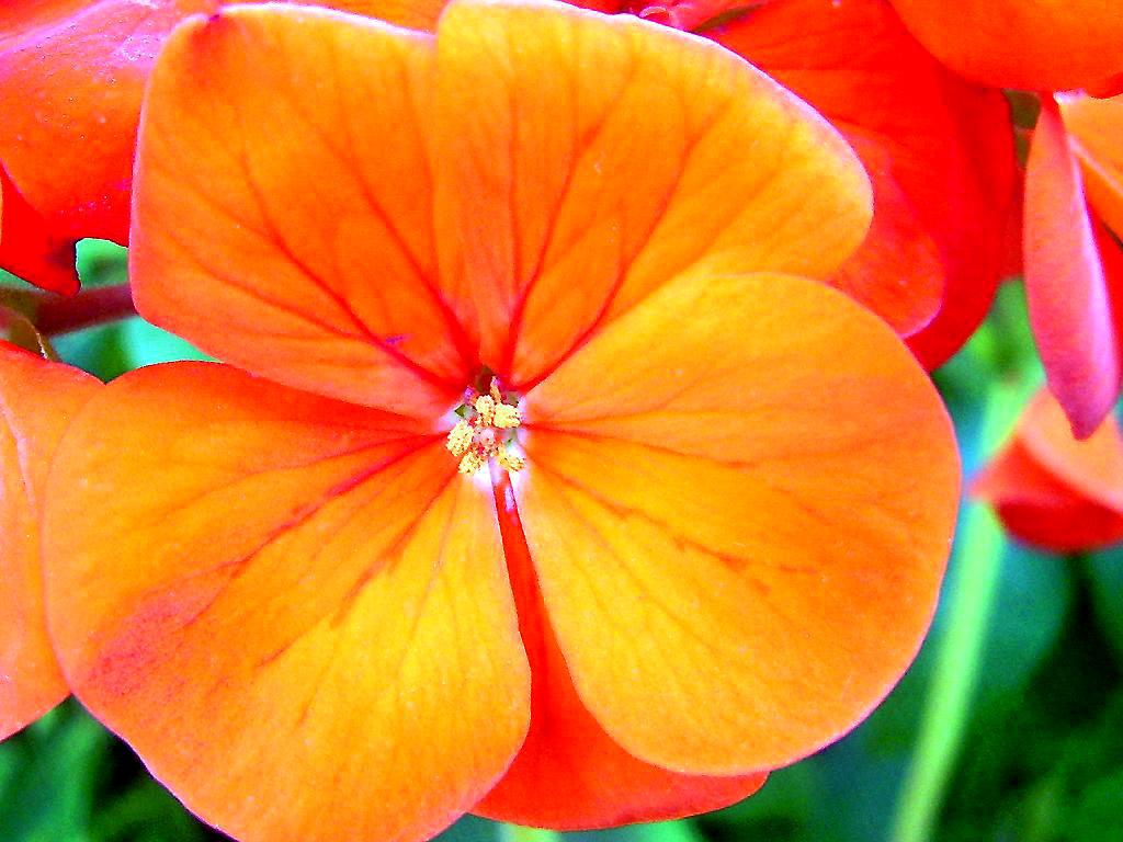 rose flowers wallpaper Flower Wallpaper For Desktop 1024x768