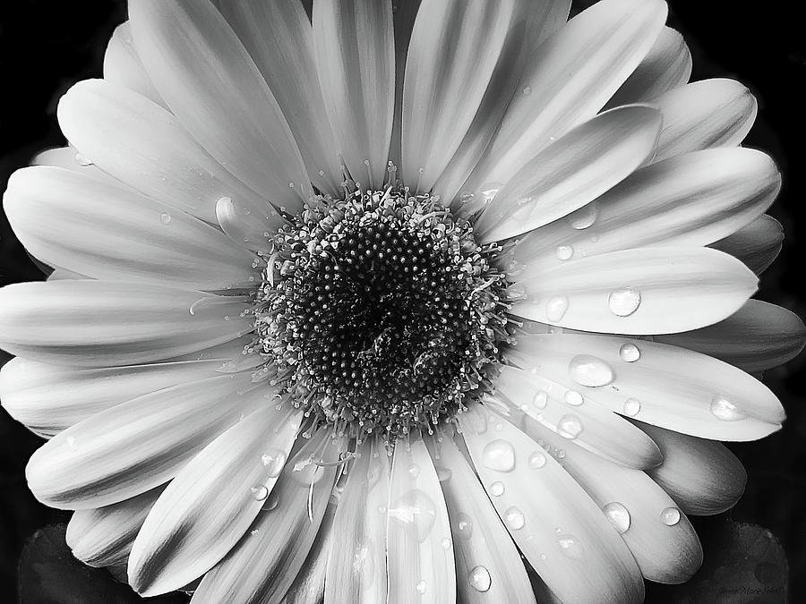 Black and white daisy wallpaper wallpapersafari - Gerber daisy wallpaper ...