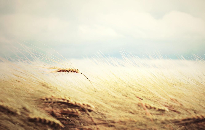 Wallpaper wheat field widescreen rye wallpaper gently nature 1332x850