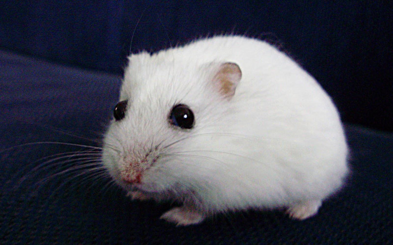 Hamsters achtergronden dieren hd hamster wallpapers foto 7jpg 1600x1000