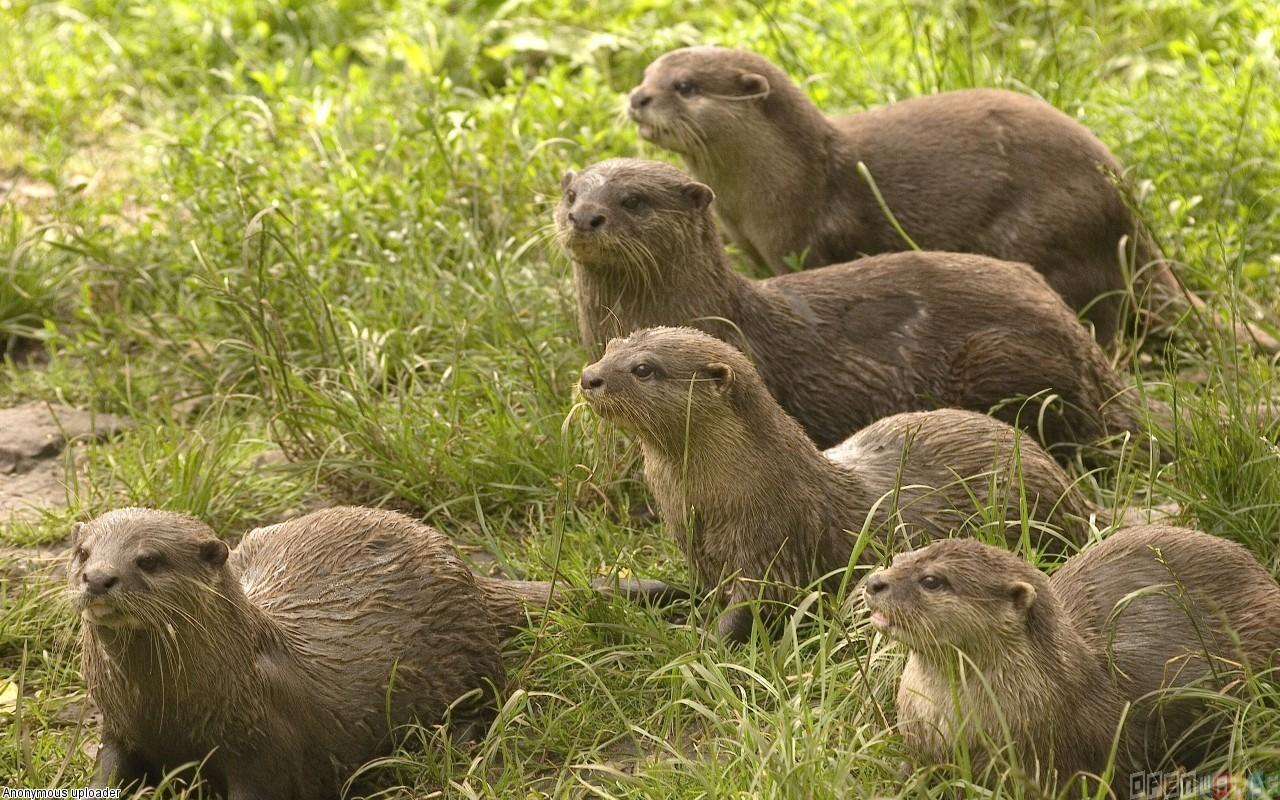 Cute otters wallpaper 17890   Open Walls 1280x800