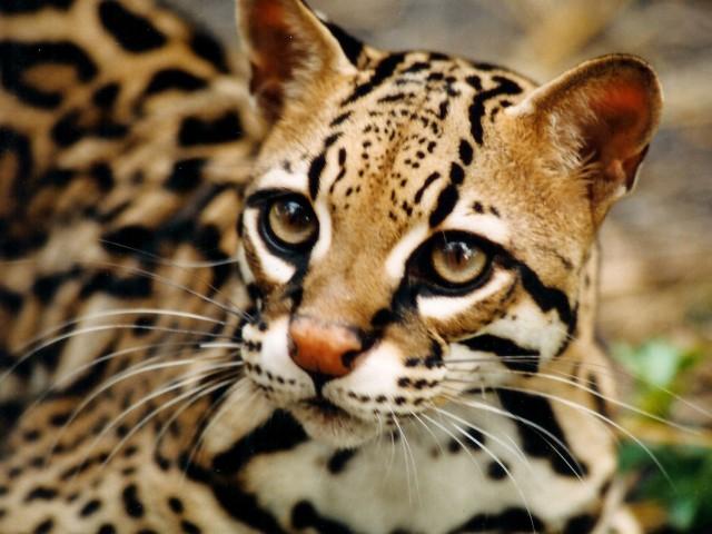 wild cats wallpaper 5   High Definition Widescreen Wallpapers 640x480