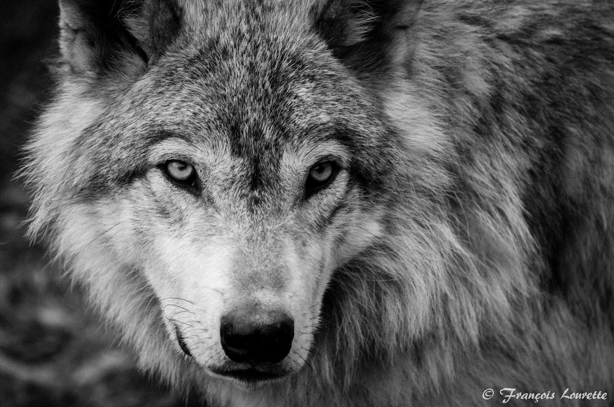 Black and White Wolf W...