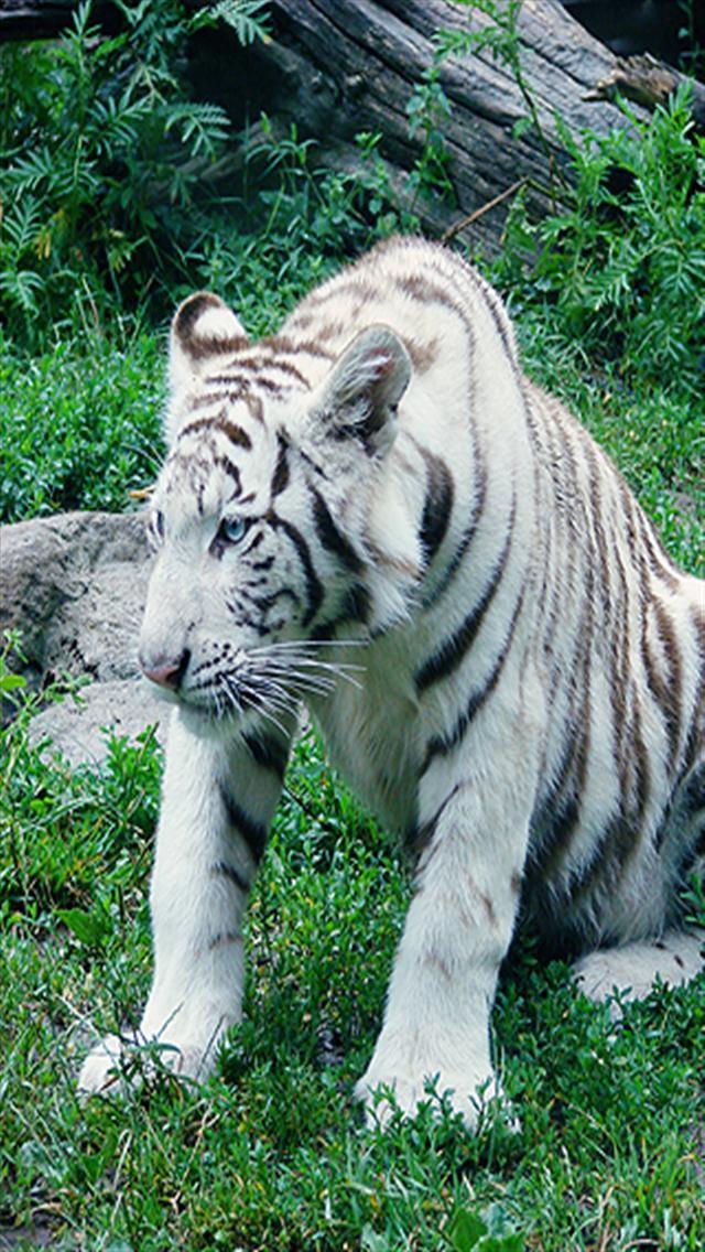 45+] White Tiger iPhone Wallpaper on WallpaperSafari
