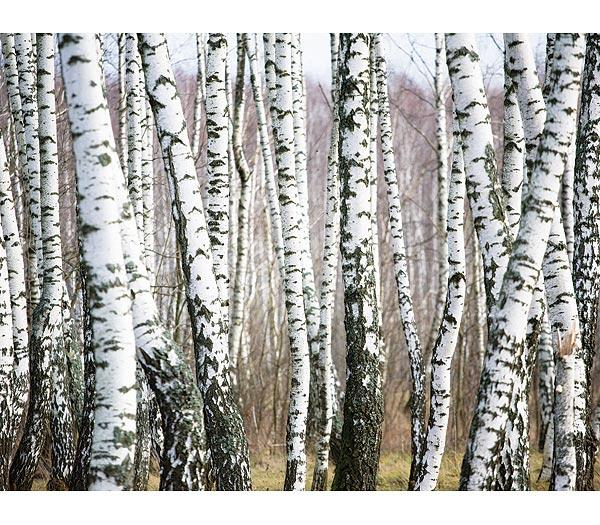 Birch Tree Wallpaper 600x525