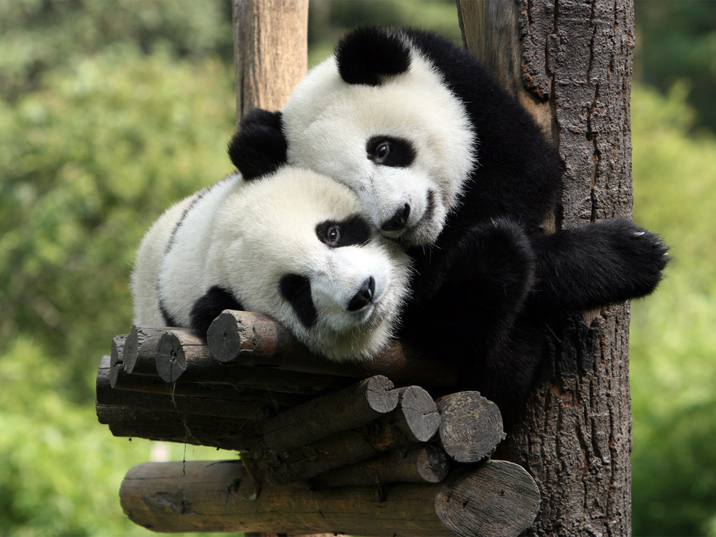 Beautiful Wallpapers panda bear wallpaper 1024x768